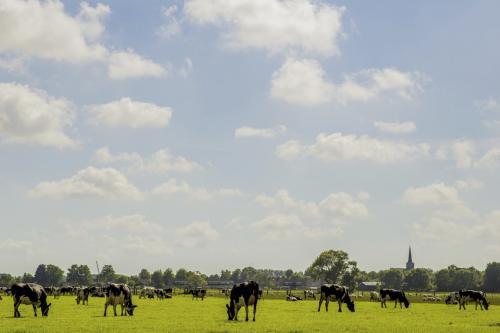 koeien grazen (Medium)
